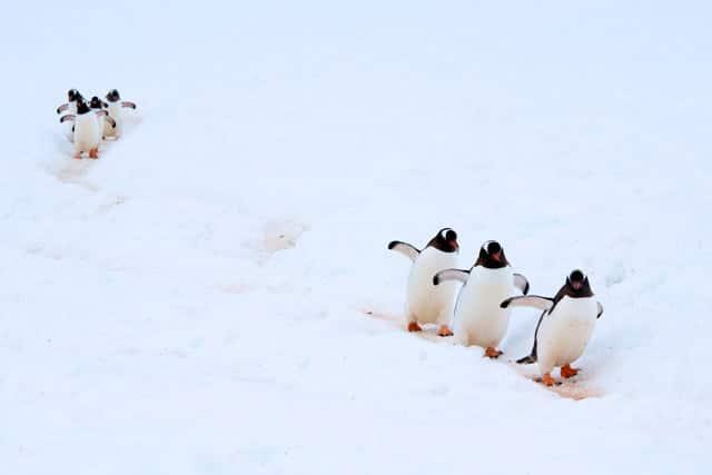 """Premio Aves del Mundo: """"Pingüinos Papúa Antártida"""" de Arturo de Frías Márquez"""